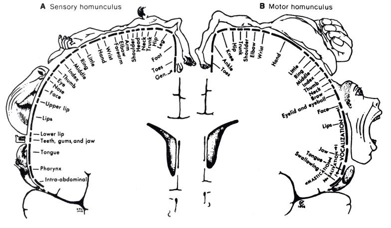 http://willcov.com/bio-consciousness/diagrams/Homunculus%20%28Topographic%29%20Diagram.htm