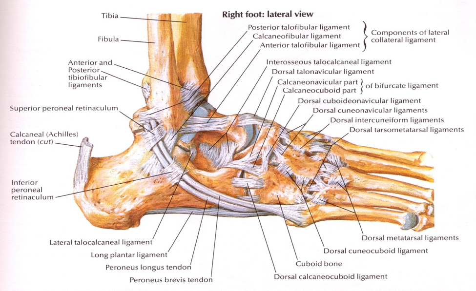 14 Ankle Sprains Paine Podcast And Medical Blog