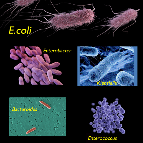 bacteroides abnehmen