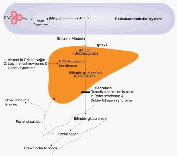 Image result for bilirubin metabolism